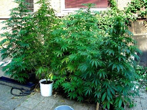 marijuana Torre del Grecp