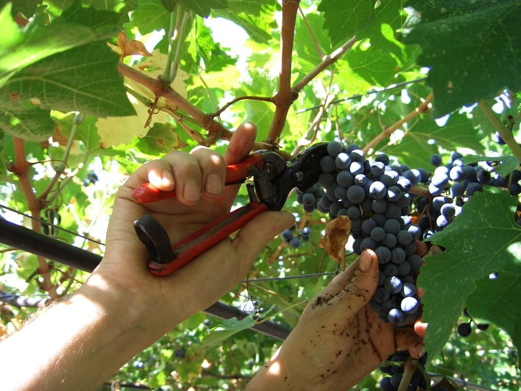 Parte la vendemmia dell'uva coltivata negli scavi di Pompei