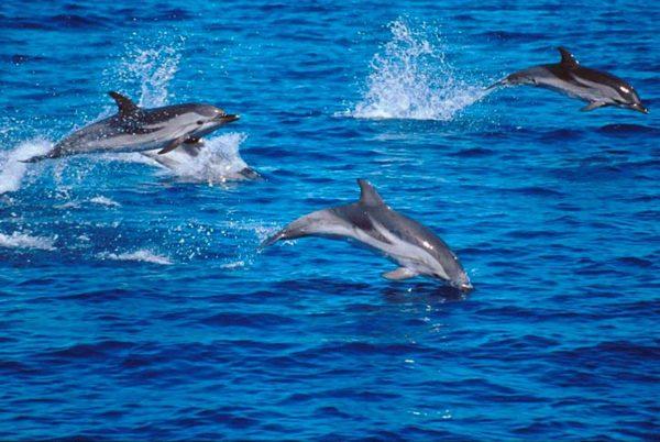 Avvistati delfini nelle acque di Bagnoli