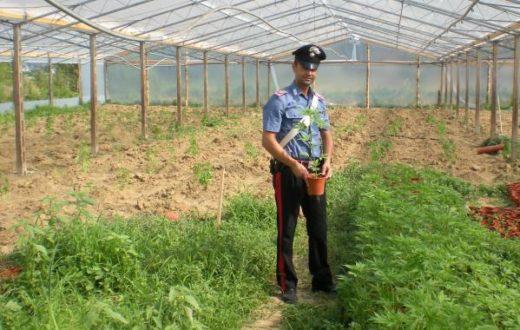 Scoperta serra per la coltivazione di marijuana, tre arresti nello stabiese