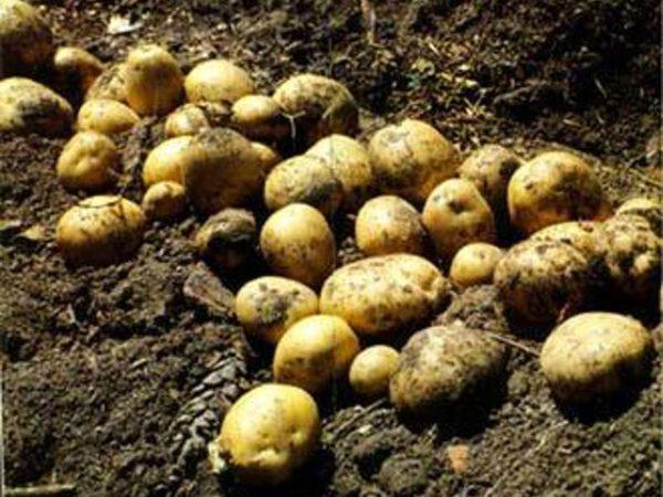 patate al veleno