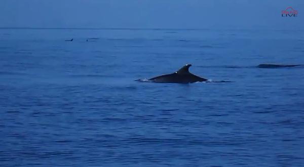 Delfini nel Golfo di Napoli