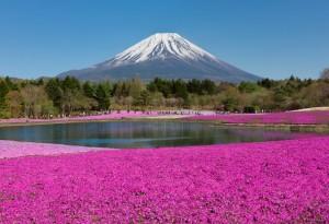 Fuji Shibazakura Festival in Japan