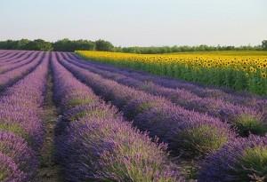 lavender-522539-640