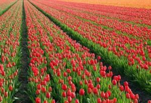tulips-21578-640
