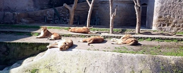 Ambiente dei leoni, Zoo di Napoli