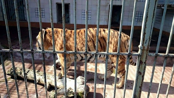 Gabbia della tigre, Zoo di Napoli