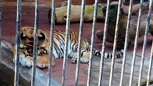 zoo - tigre