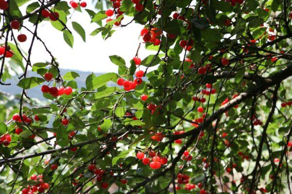 ciliegie di Marano