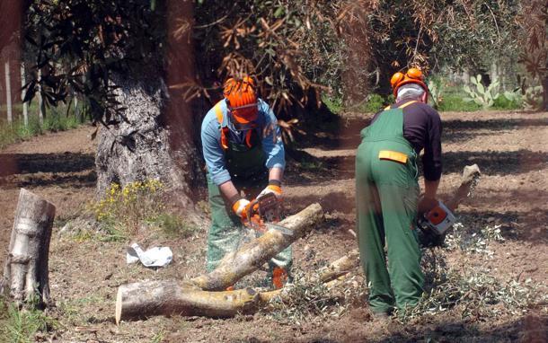 Xylella: ruspe in uliveti, ambientalisti tentano blocco