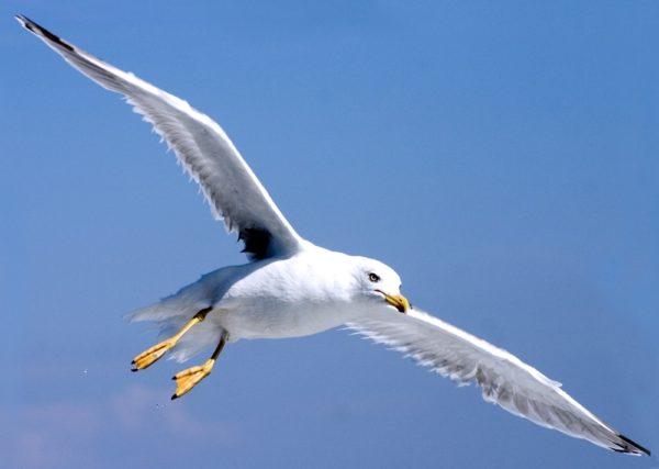Piovono gabbiani su napoli e dintorni paura e danni per - Uccelli che sbattono contro le finestre ...