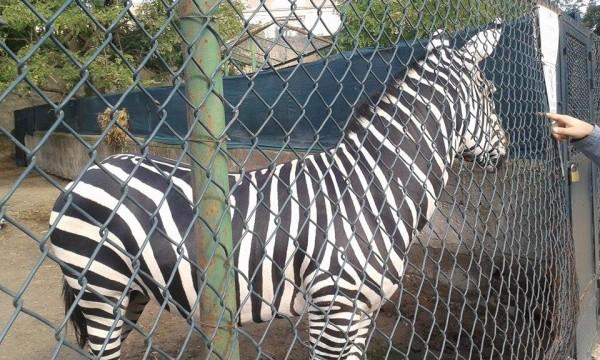 Zoo di Napoli - zebra