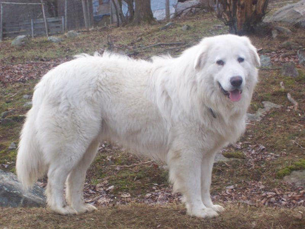 pastore maremmano - cane bianco bombe