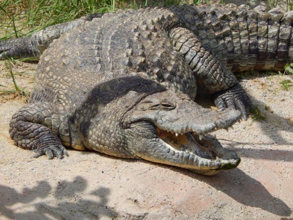 coccodrillo zoo di napoli
