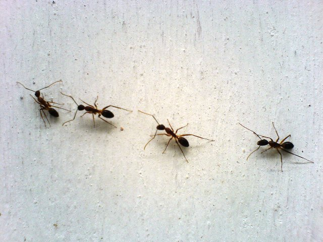 Napoli ospedale san paolo invasione di formiche in sala operatoria - Invasione di formiche in cucina ...