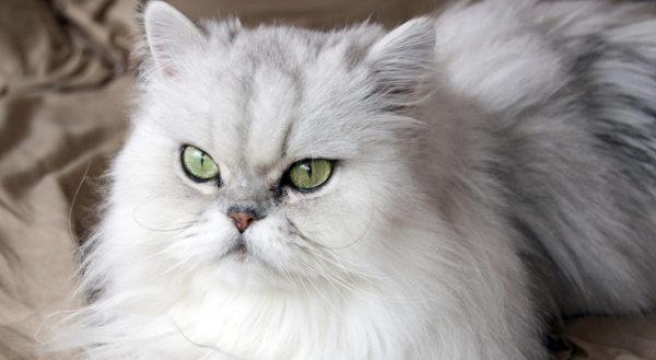gatto persiano