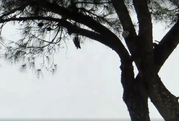 piccioni impiccati