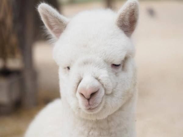cucciolo di alpaca