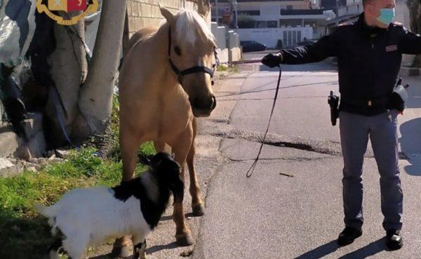 passeggio capra cavallo