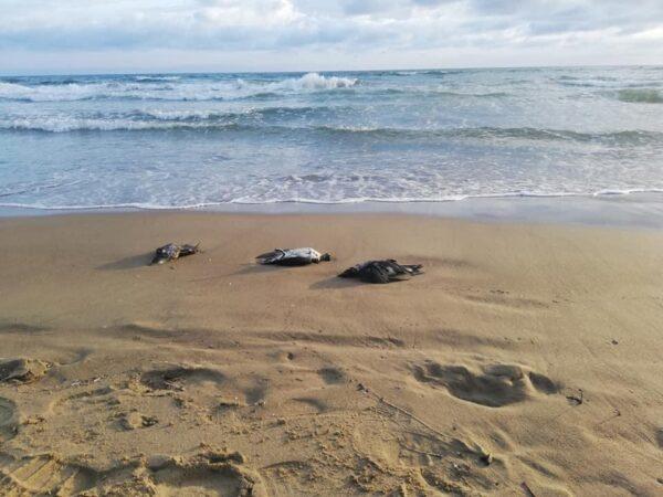 strage di uccelli litorale domitio