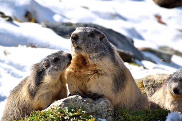 """In Asia è tornata la peste: """"Hanno mangiato carne di marmotta"""""""