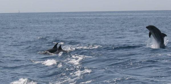delfini vervece