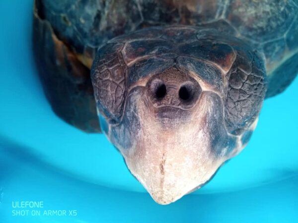 tartarughe punta campanella