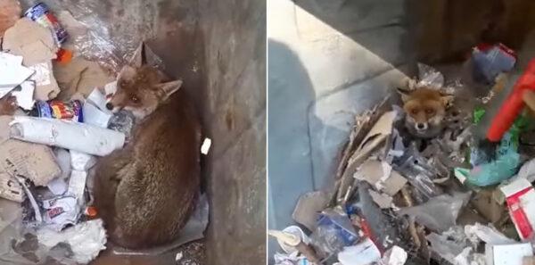 volpe salvata montevergine
